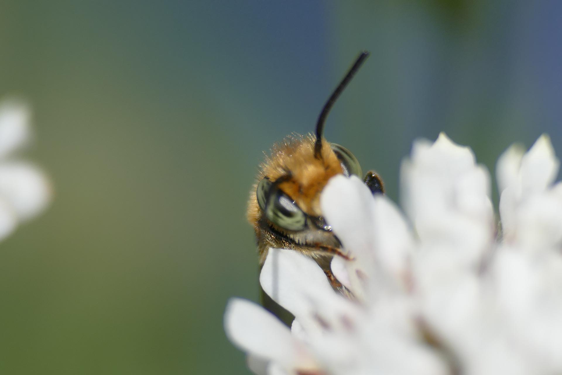 Pszczoła zbierająca nektar na kwiecie o białych płatkach